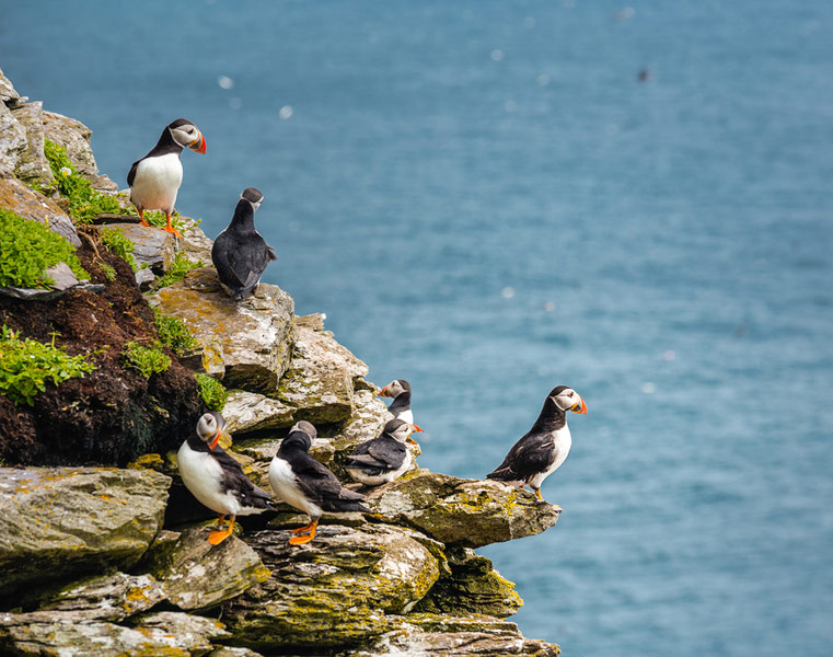 Puffins watch guard on Skellig Michael